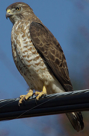 Broad-winged hawk - Image: Julie Waters broad winged hawk