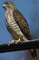 21 / Broad-winged Hawk
