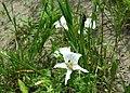 June 2015 Grassland Plants in Northwestern SD (19934744750).jpg