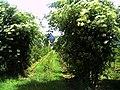 June Fruits Farming Bee Holunder Chinaberry elder - Master Seasons Rhine Valley 2013 Genus Sambuca - panoramio.jpg