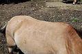 Juraparc 06-07-2013 - Back of a Przewalski's horse.jpg