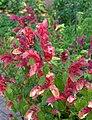 Justicia brandegeeana - Marie Selby Botanical Gardens - Sarasota, Florida - DSC01642.jpg