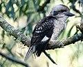 Juvenile Kookaburra (31916720690).jpg