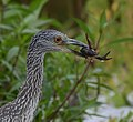 Juvenille Yellow-Crowned Night Heron (36396369933).jpg