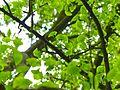 K ND 503.03.43 Ginkgo Blätter.jpg