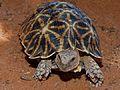 Kalahari Tent Tortoise (Psammobates oculifer) (6856962226).jpg