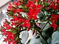 Kalanchoe pinnata flower 1.jpg