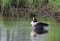 Kanadagås Canada Goose (14451982956).jpg
