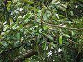 Kannati-y-ilai (Tamil- கண்ணாடியிலை) (5926675391).jpg