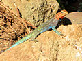 Kenyan Rock Agama, male, Serengeti 2.jpg