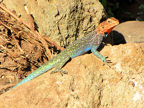 Description de l'image Kenyan Rock Agama, male, Serengeti 2.jpg.