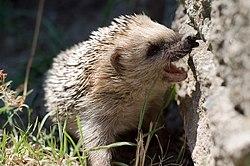 250px-Keqs_hedgehog_PICT3774.jpg