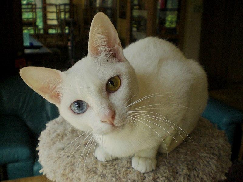 Diamond Cat Breed