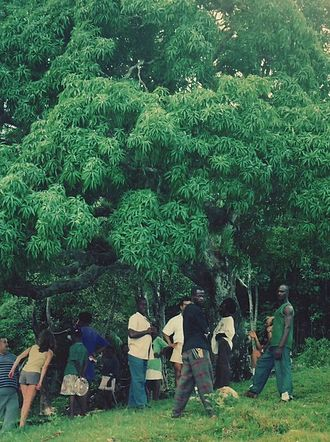 Accompong - The Kindah Tree of Accompong, near where the Maroons signed a treaty with the British in 1739 that established their autonomy