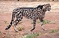 King cheetah, De Wildt Cheetah Research Centre (South Africa).jpg