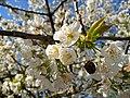 Kirschblüten und Kirschrest Vorjahr.JPG