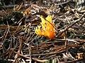 Klebriger Hörnling - pięknoróg lepki - Calocera viscosa 6268.jpg