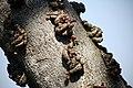 Knobby fig (Ficus sansibarica), Kruger National Park, South Africa (29208468275).jpg
