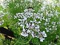 Kolendra siewna. (Coriandrum sativum L.) 01.jpg