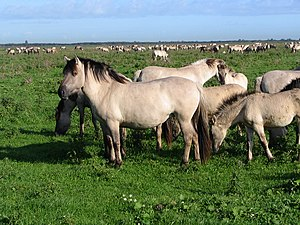 Konik - Free-ranging koniks in the Oostvaardersplassen