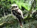 Kookaburra resting, Dandenong ranges, VIC.jpg