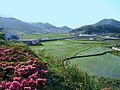 Korea-Goheung-Rice fields in rural Goheung.JPG
