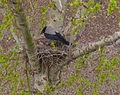 Krähe auf dem Nest.jpg