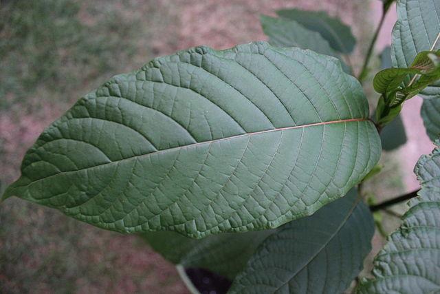 Kratom leaf 2, From WikimediaPhotos