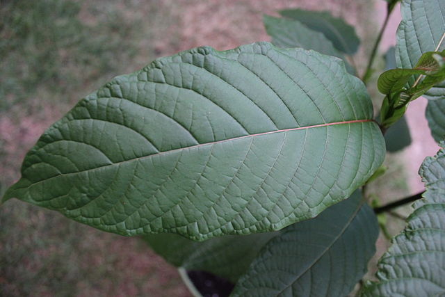 Kratom_leaf_2.JPG: Kratom leaf 2