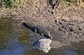 Krokodýl v řece Sweni River, Krugerův park - panoramio.jpg