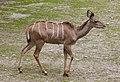 Kudú mayor (Tragelaphus strepsiceros), Tierpark Hellabrunn, Múnich, Alemania, 2012-06-17, DD 03.jpg