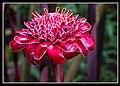 Kuranda Ginger Flower-2 (8239830919).jpg