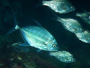 Carangoides - Blue trevally, C. ferdau