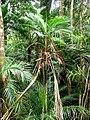Laccospadix australasica in the Herberton Range.jpg