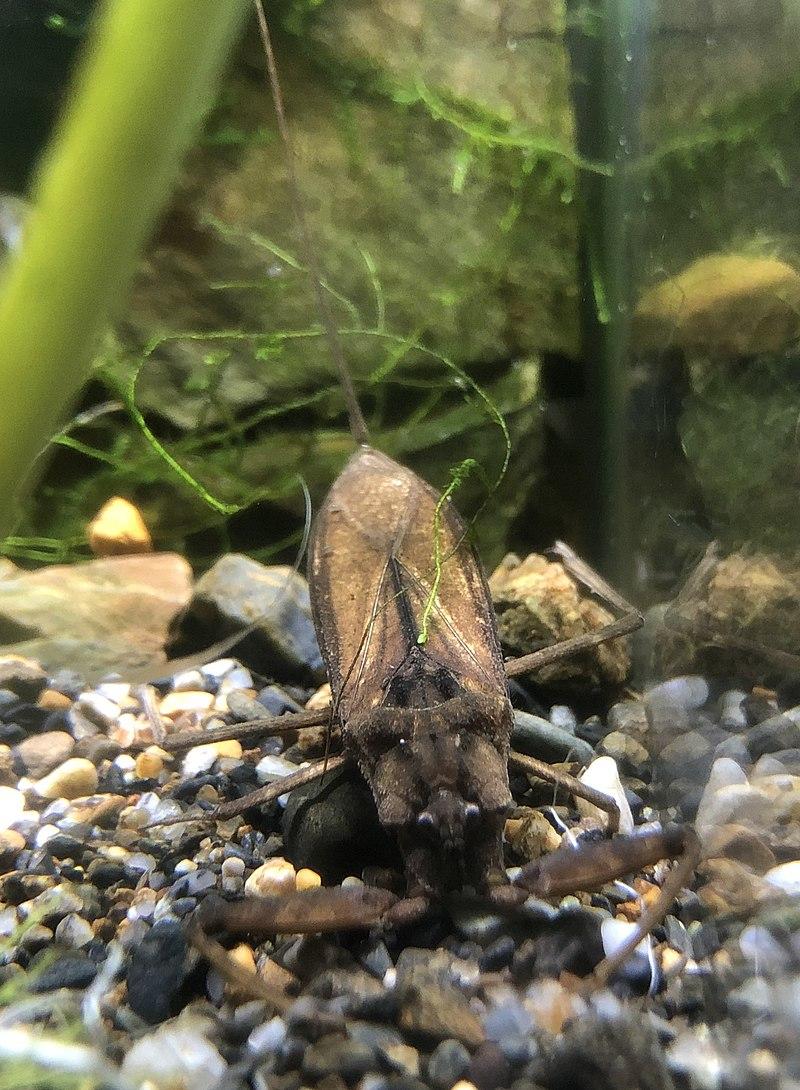Laccotrephes japonensis Kyoto aquarium.jpg