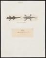 Lacerta ceylonensis - 1700-1880 - Print - Iconographia Zoologica - Special Collections University of Amsterdam - UBA01 IZ11400121.tif