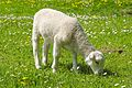 Lamb Balkhausen Germany 2.jpg
