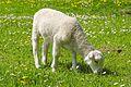 Lamb Balkhausen Germany 2.jpg
