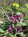 Lamium maculatum Bremgartenwald 2.JPG