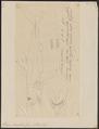 Lamna cornubica - 1700-1880 - Print - Iconographia Zoologica - Special Collections University of Amsterdam - UBA01 IZ14100071.tif