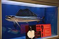 Lancetfish smithsonian.JPG
