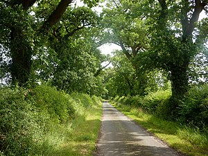 English: Lane between oak trees For some way t...