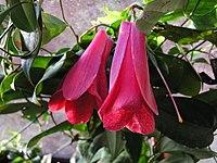Lapageria rosea (2)