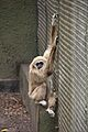 Lar Gibbon at Chester Zoo 3.jpg