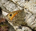Large Wall Brown. Lasiommata maera (43796855140).jpg
