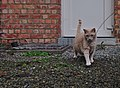 Larry the cat looking into playing with a wool string on gravel in Auderghem, Belgium (DSCF2324).jpg