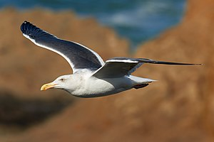 Western gull - Western Gull in flight over the cliffs of Bodega Head