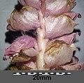 Lathraea squamaria subsp. squamaria sl15.jpg
