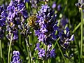 Lavendula - Lavendel mit Biene I.jpg