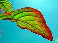 Leaves in iran برگ گلها و گیاهان ایرانی 14.jpg